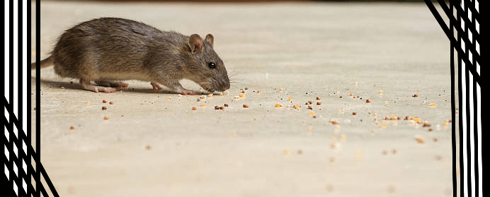Professional for Rodent Control Services