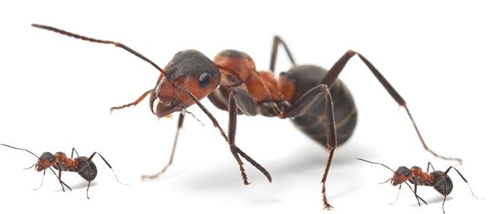 Ant Control Amaroo